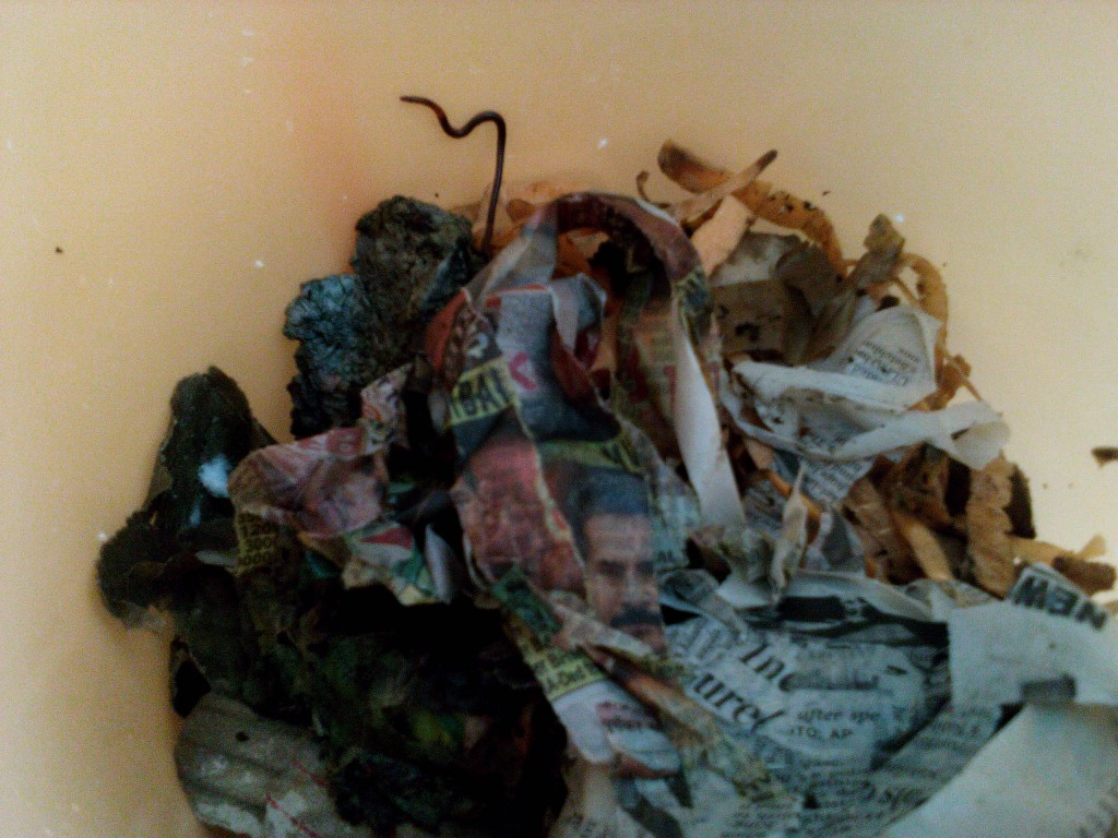 earthworm in vermicompost worm bin bedding