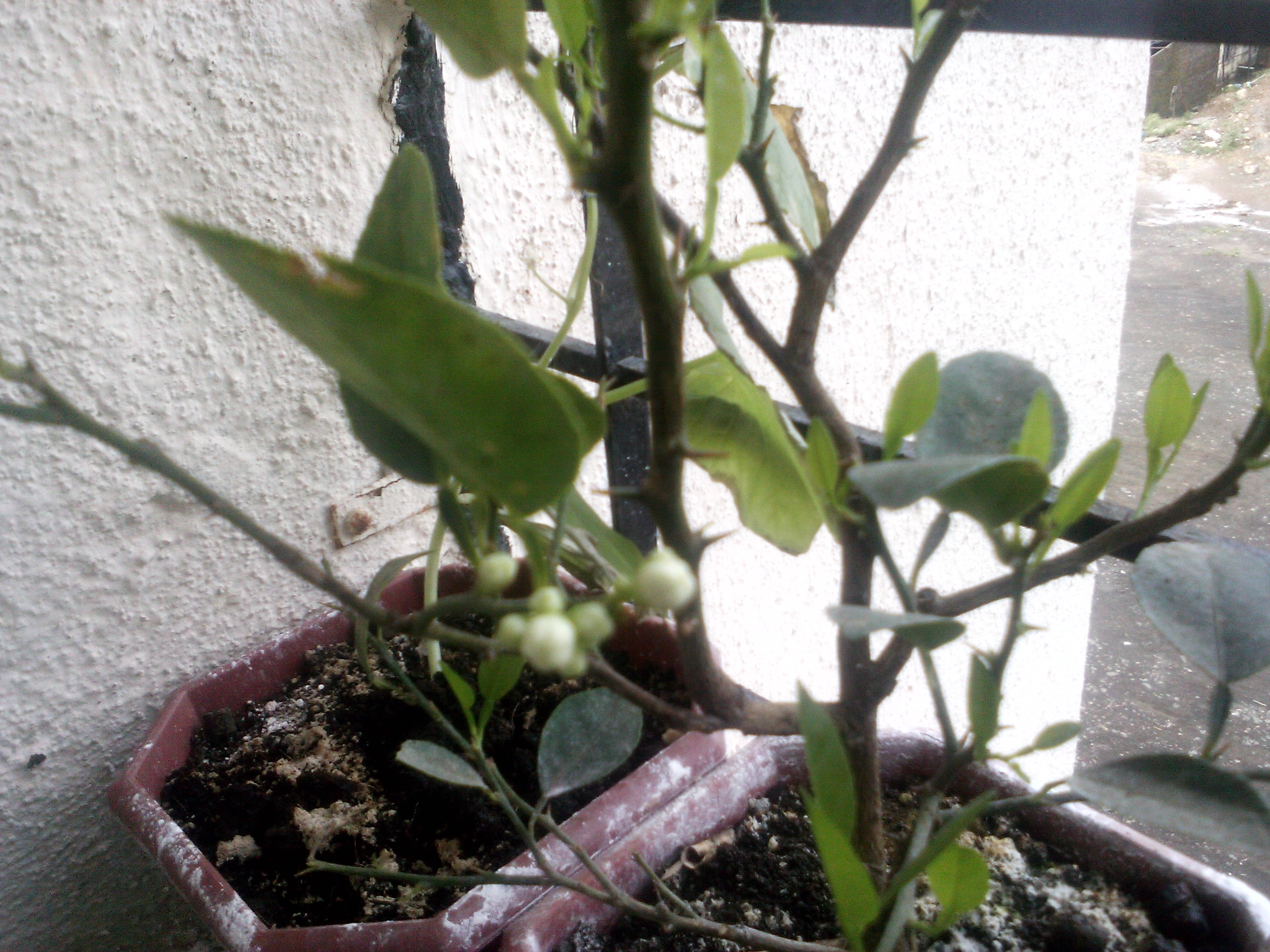 Small potted lemon tree flowering