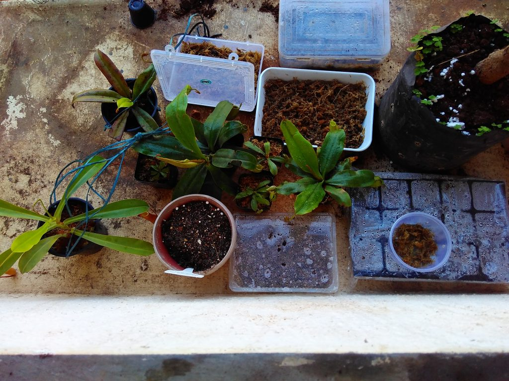 rescued nepenthes plants