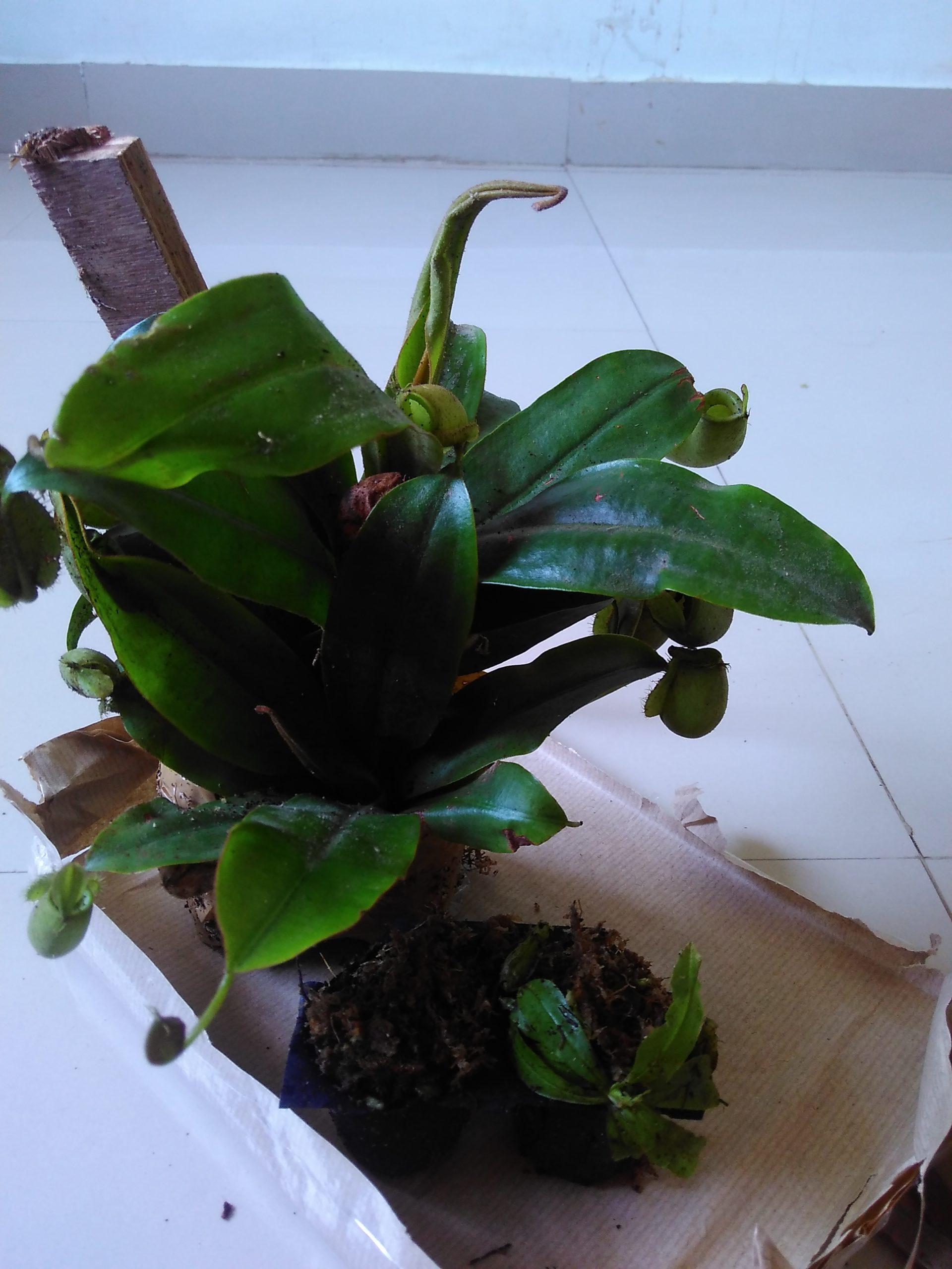 Unboxing nepenthes ampullaria