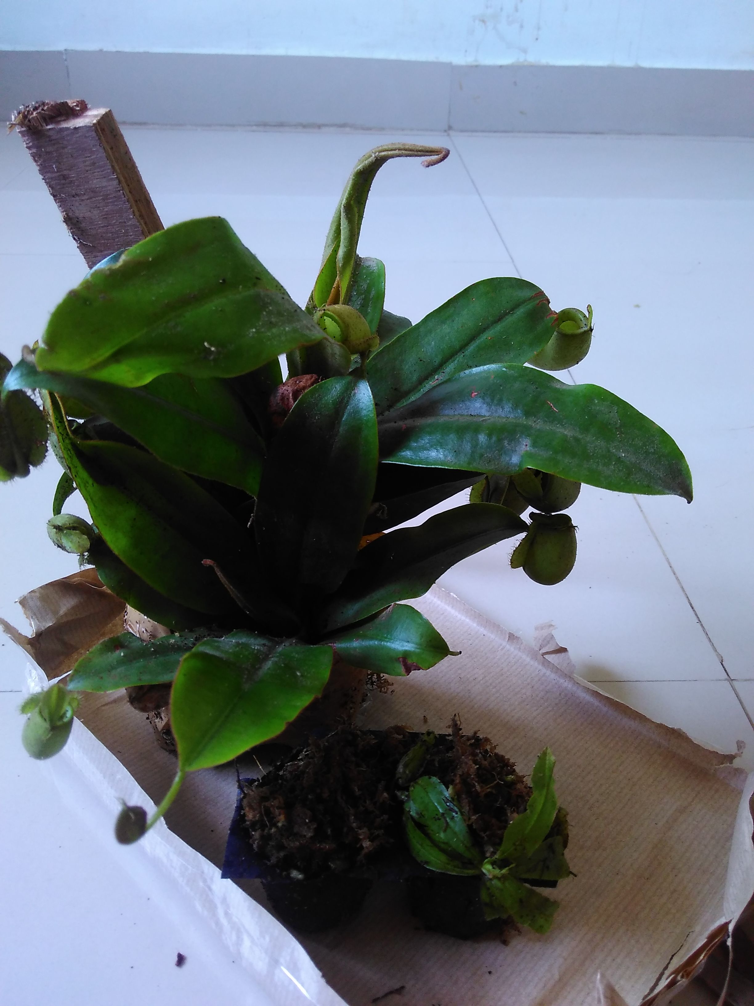 Unboxing nepenthes ampullaria
