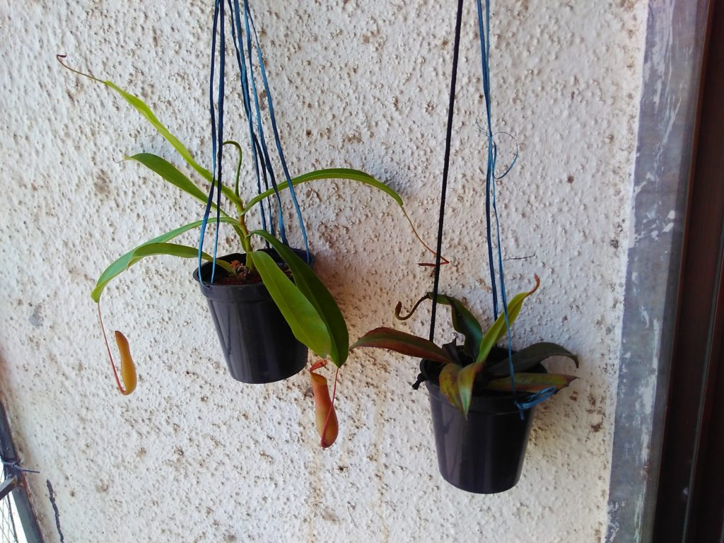 Nepenthes Ventrata and Nepenthes Mirabilis pitcher plants hanging in shady spot to rest after travel
