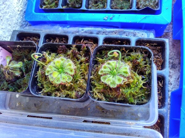 2-drosera-burmanii