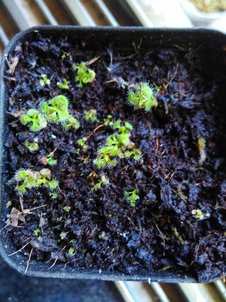 drosera burmanii seedlings in cocopeat