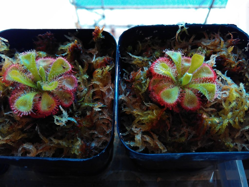 Drosera burmanii showing red coloring before being fed