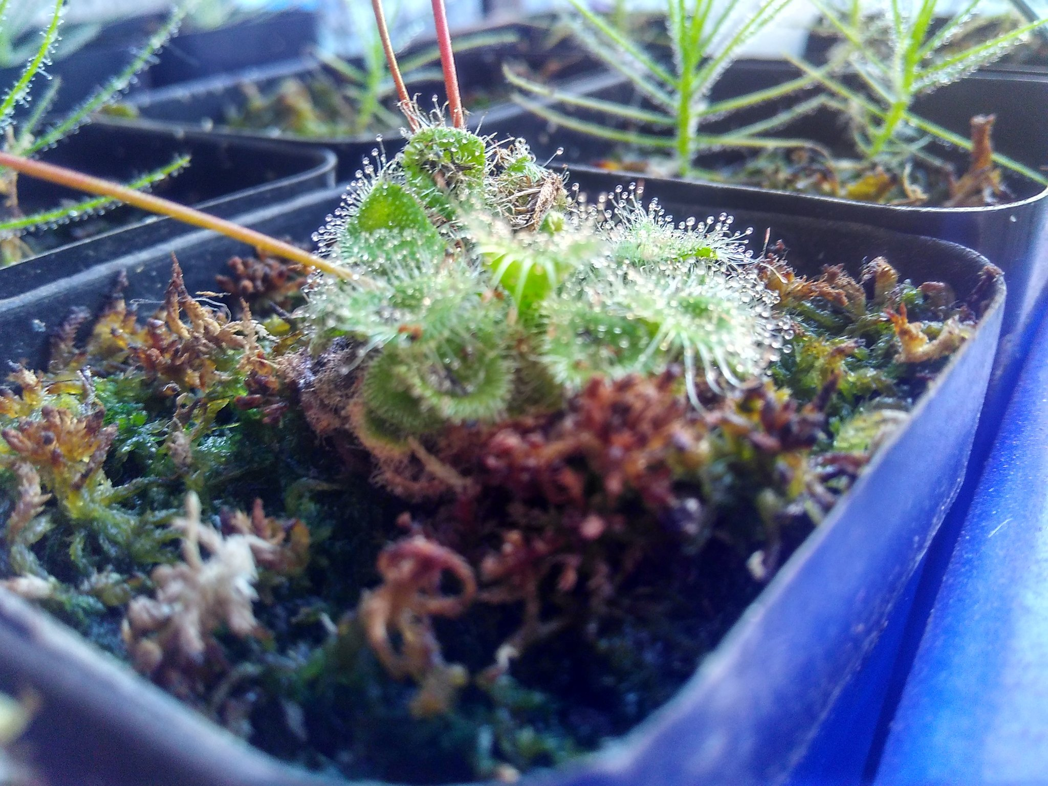 Drosera burmanii is among the easiest drosera