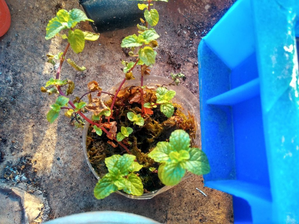 mint cuttings rooting sphagnum moss