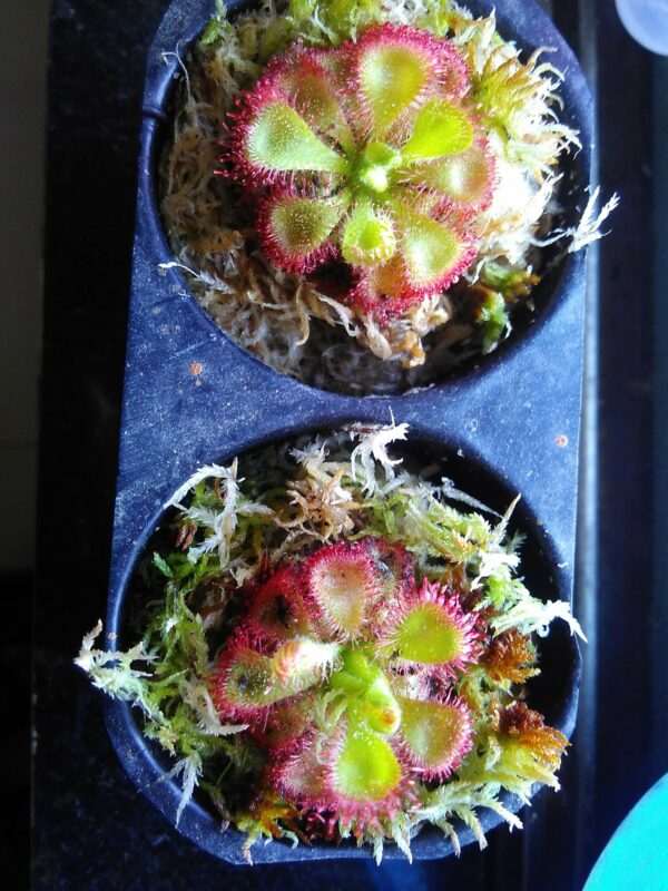 red-drosera-burmanii