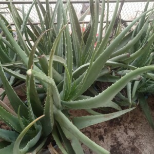 Big aloe vera plant in grow bang