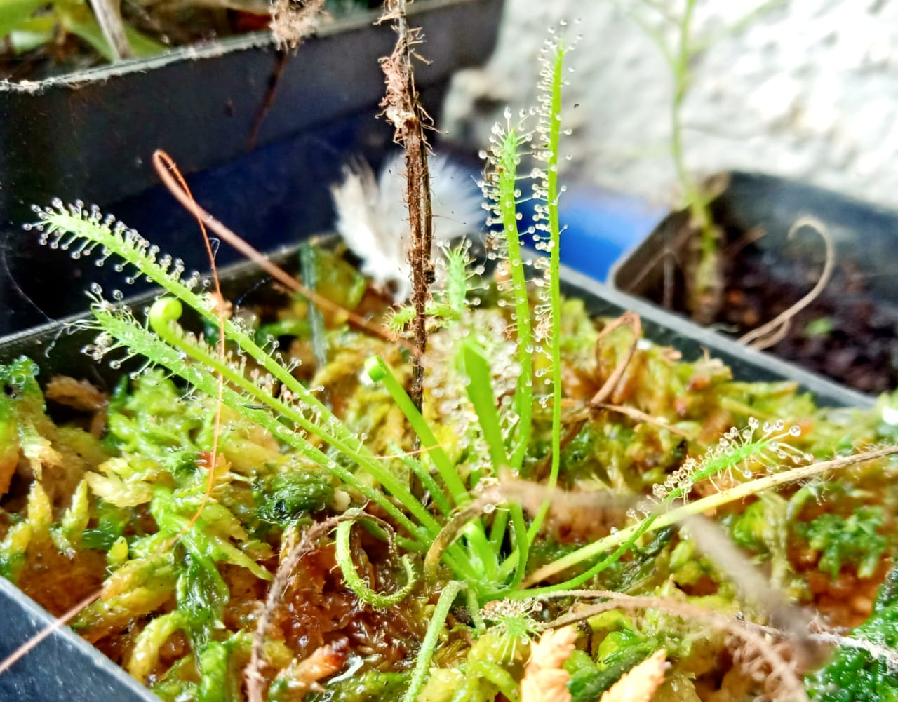 Buying and growing carnivorous plants in India