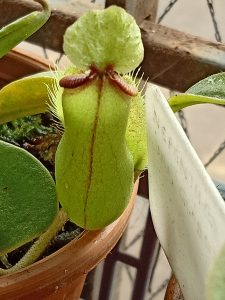Nepenthes mirabilis var globosa x hamata back side of pitcher