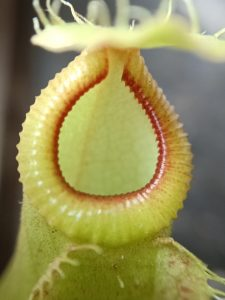 Nepenthes mirabilis var globosa x hamata peristome