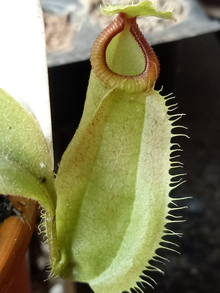 Nepenthes Viking x hamata pitcher