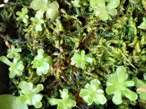 Pinguicula plantlets placed on sphagnum