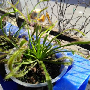 drosera-capensis