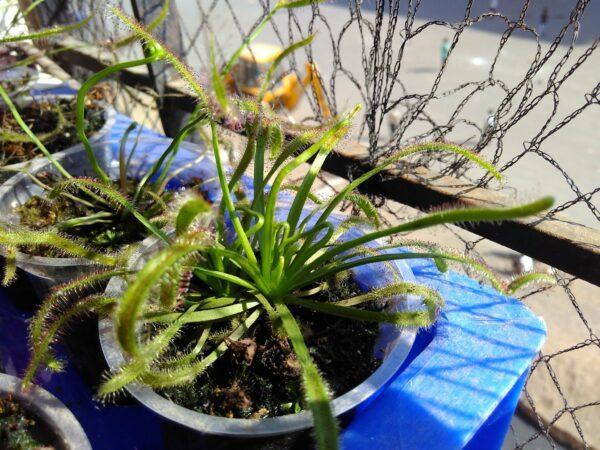 Drosera capensis x aliciae (Drosera x Capiciae) 2