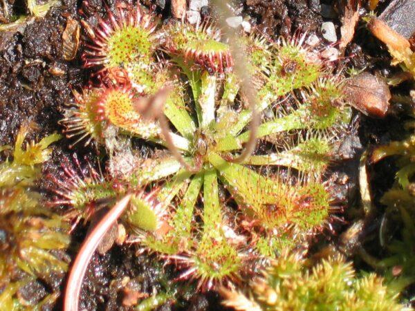 Drosera capillaris seeds - 20 seeds of pink sundew 1