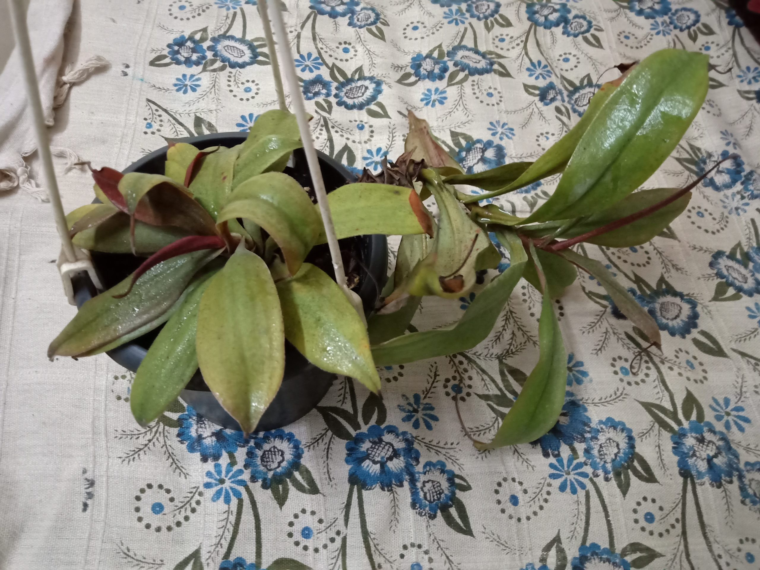 Nepenthes benstonei with multiple basals and a vine