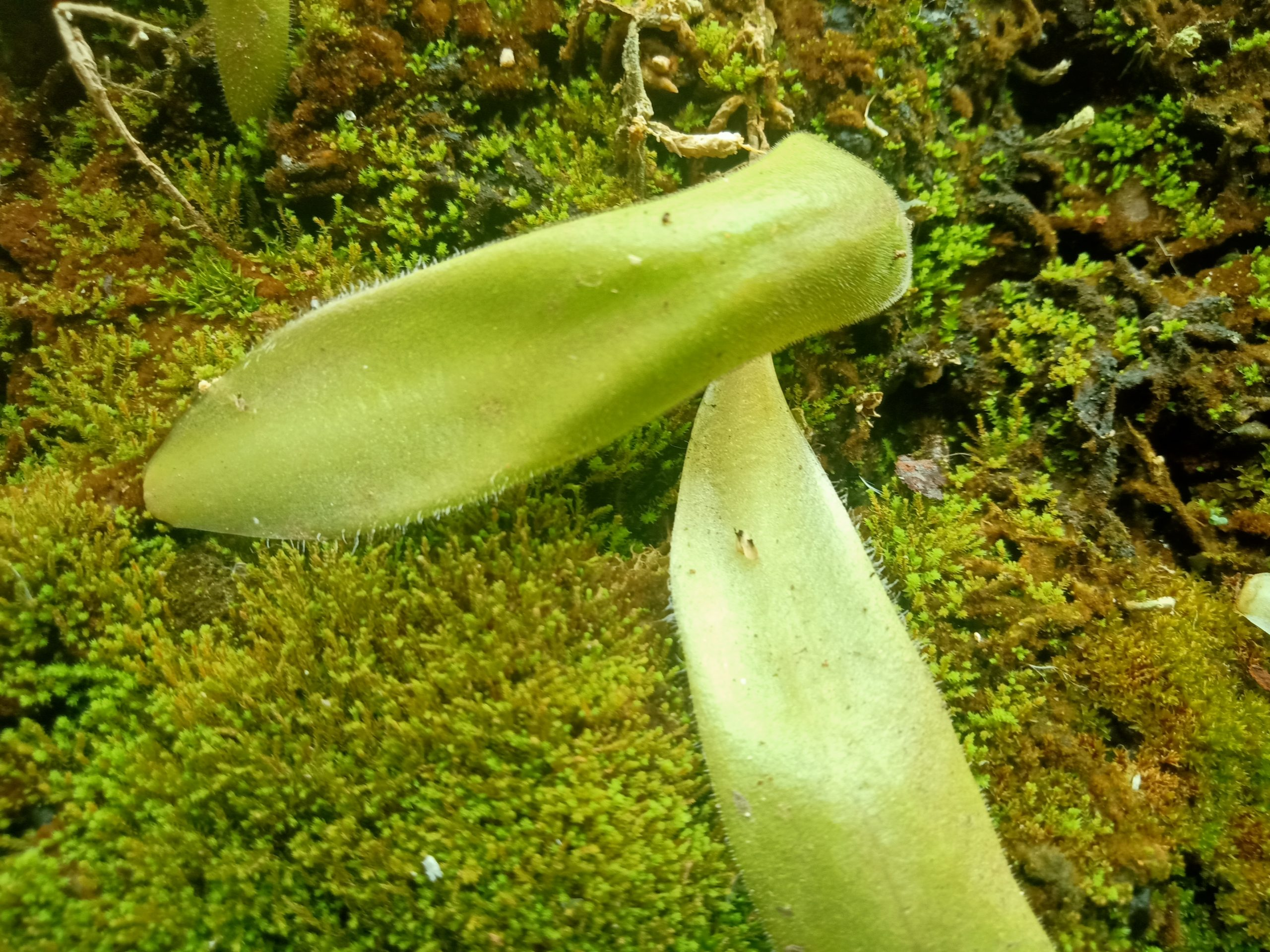 Pinguicula agnicola leaf pullings